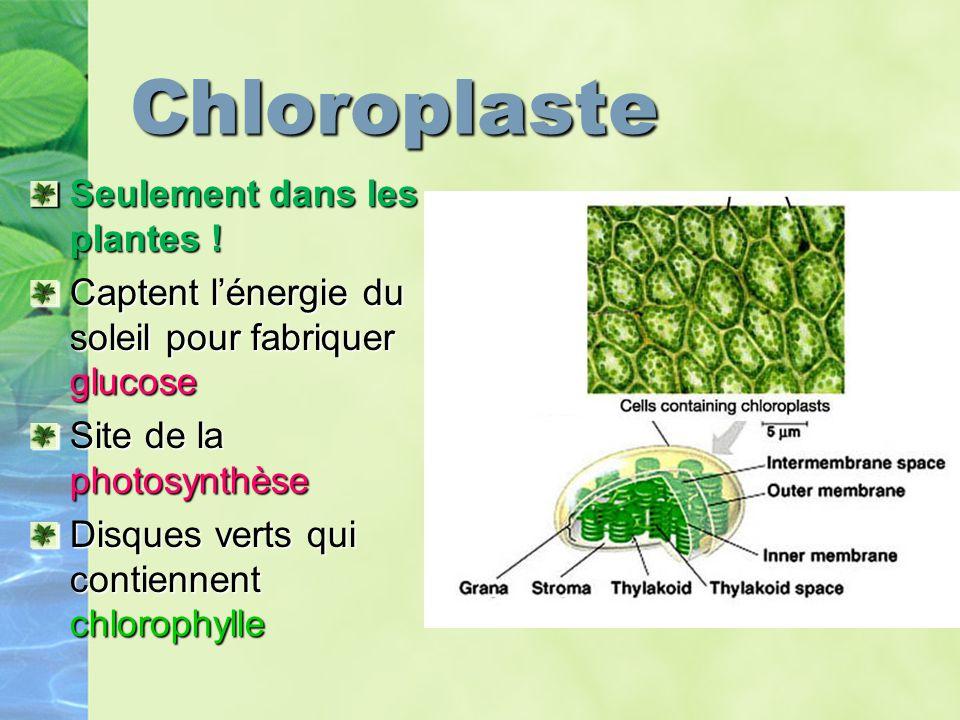 Chloroplaste Seulement dans les plantes !