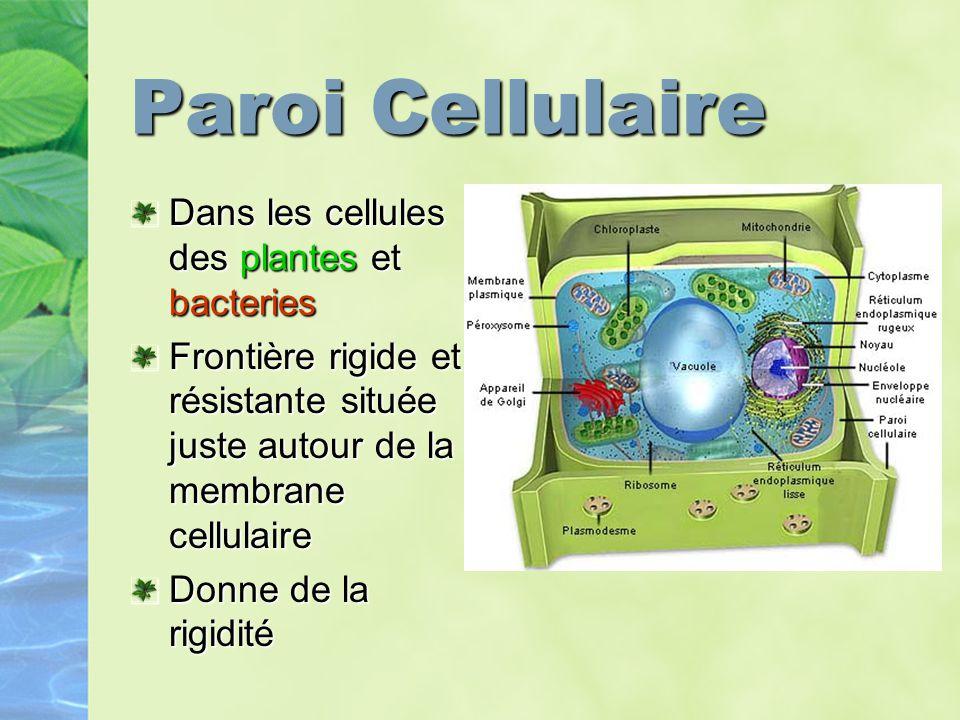 Paroi Cellulaire Dans les cellules des plantes et bacteries