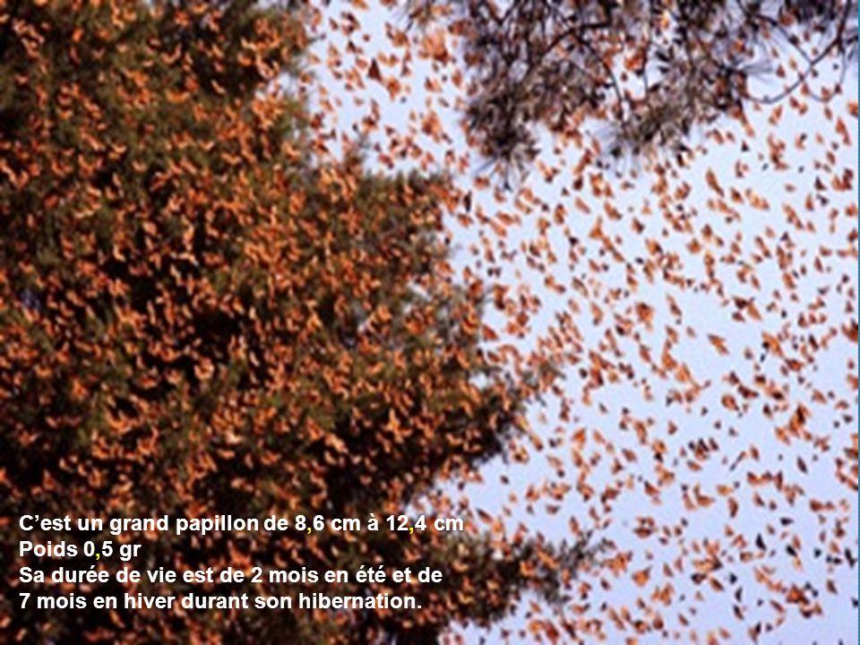 Le papillon monarque danaus plexippus cr ation clic pour avancer ppt video online t l charger - Duree de vie papillon de nuit ...
