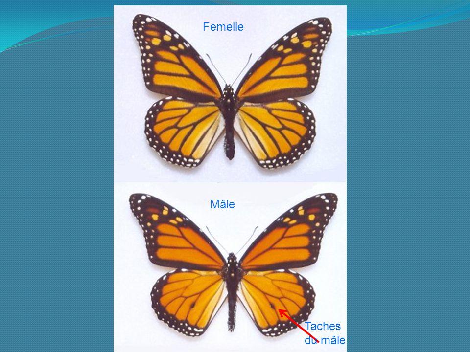 Le Papillon Monarque  Danaus Plexippus  Cr U00e9ation   Clic