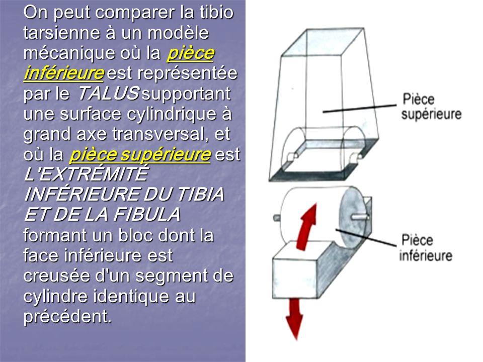 On peut comparer la tibio tarsienne à un modèle mécanique où la pièce inférieure est représentée par le TALUS supportant une surface cylindrique à grand axe transversal, et où la pièce supérieure est L EXTRÉMITÉ INFÉRIEURE DU TIBIA ET DE LA FIBULA formant un bloc dont la face inférieure est creusée d un segment de cylindre identique au précédent.