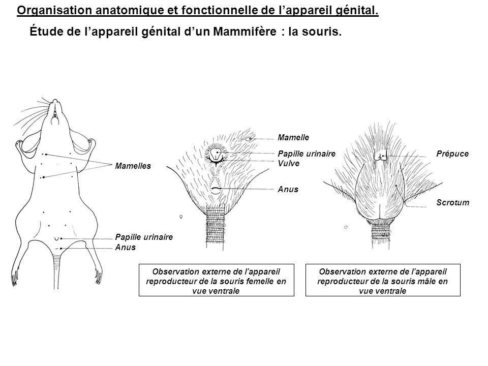 Organisation anatomique et fonctionnelle de l'appareil génital.