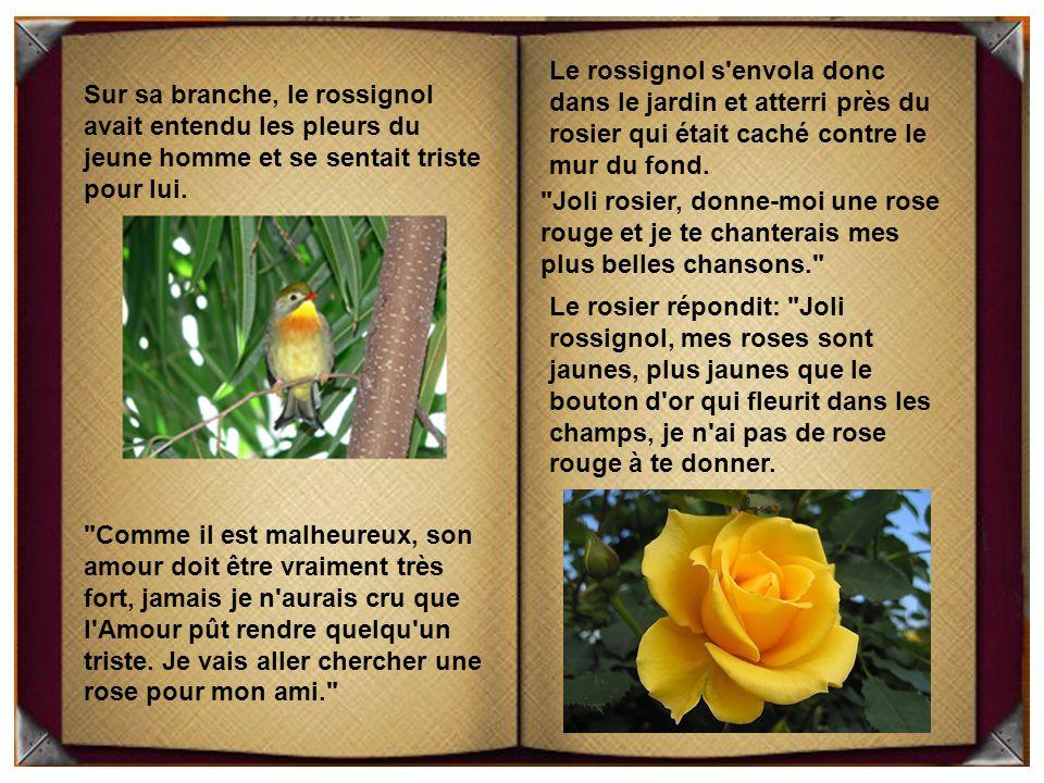Le rossignol s envola donc dans le jardin et atterri près du rosier qui était caché contre le mur du fond.