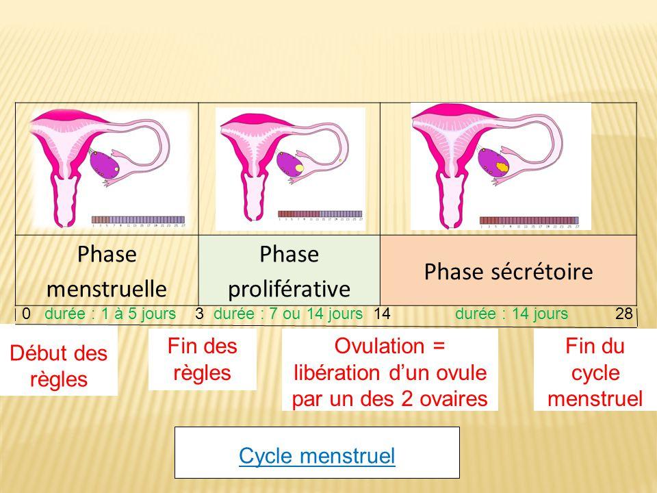 Ovulation = libération d'un ovule par un des 2 ovaires