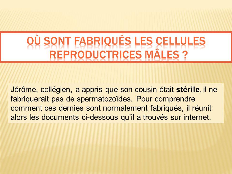 Où sont fabriqués les cellules reproductrices mâles