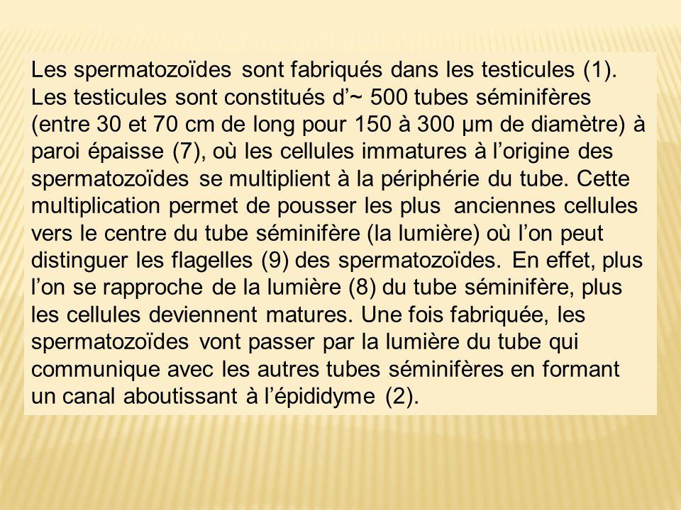 Les spermatozoïdes sont fabriqués dans les testicules (1)