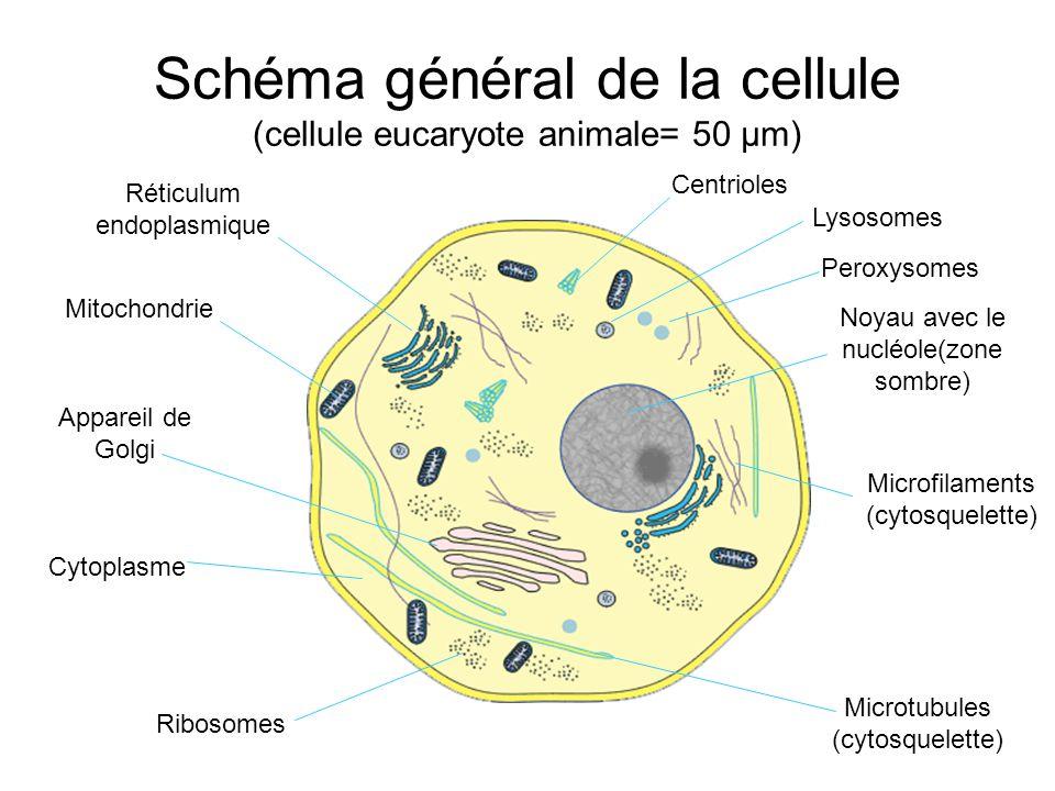 Schéma général de la cellule (cellule eucaryote animale= 50 µm)