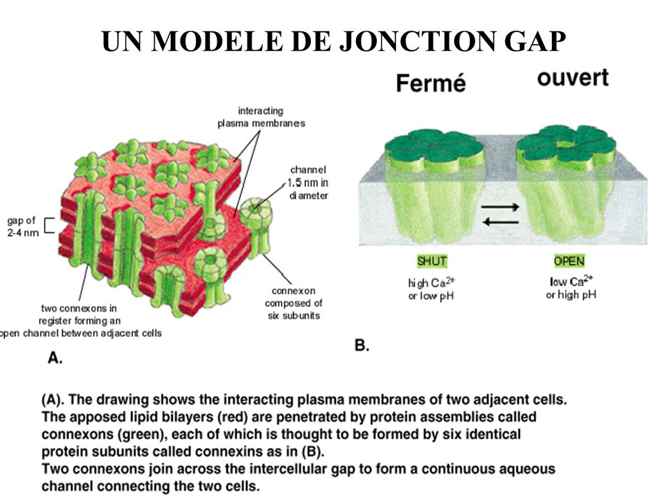 UN MODELE DE JONCTION GAP