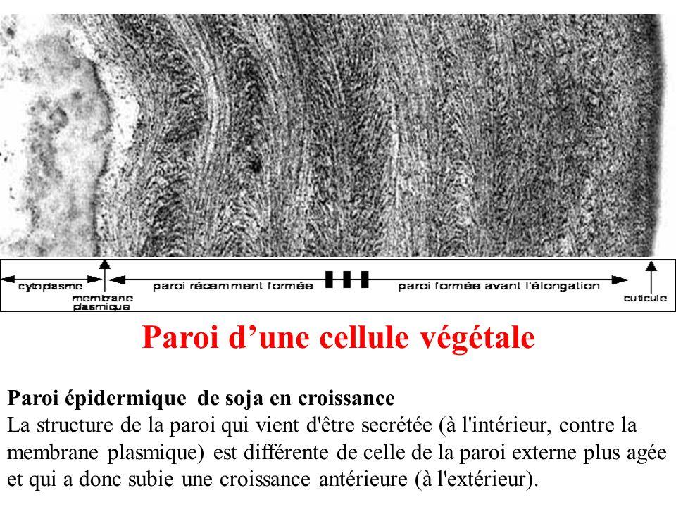 Paroi d'une cellule végétale