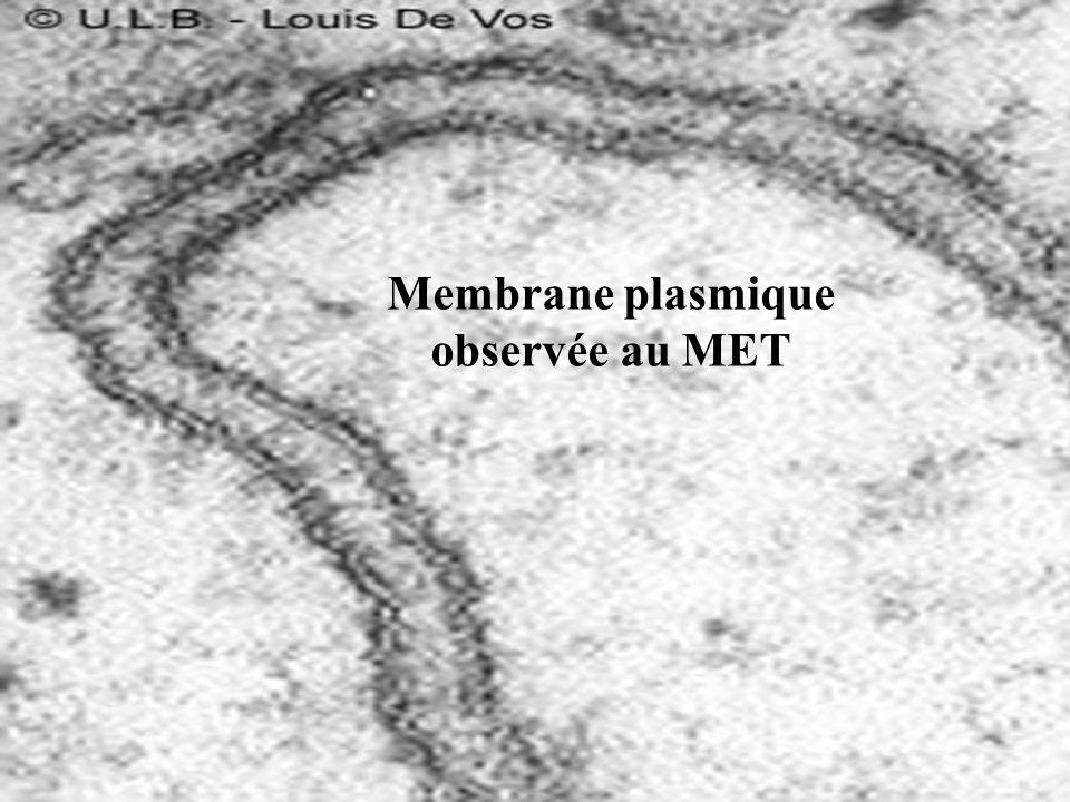 Membrane plasmique observée au MET