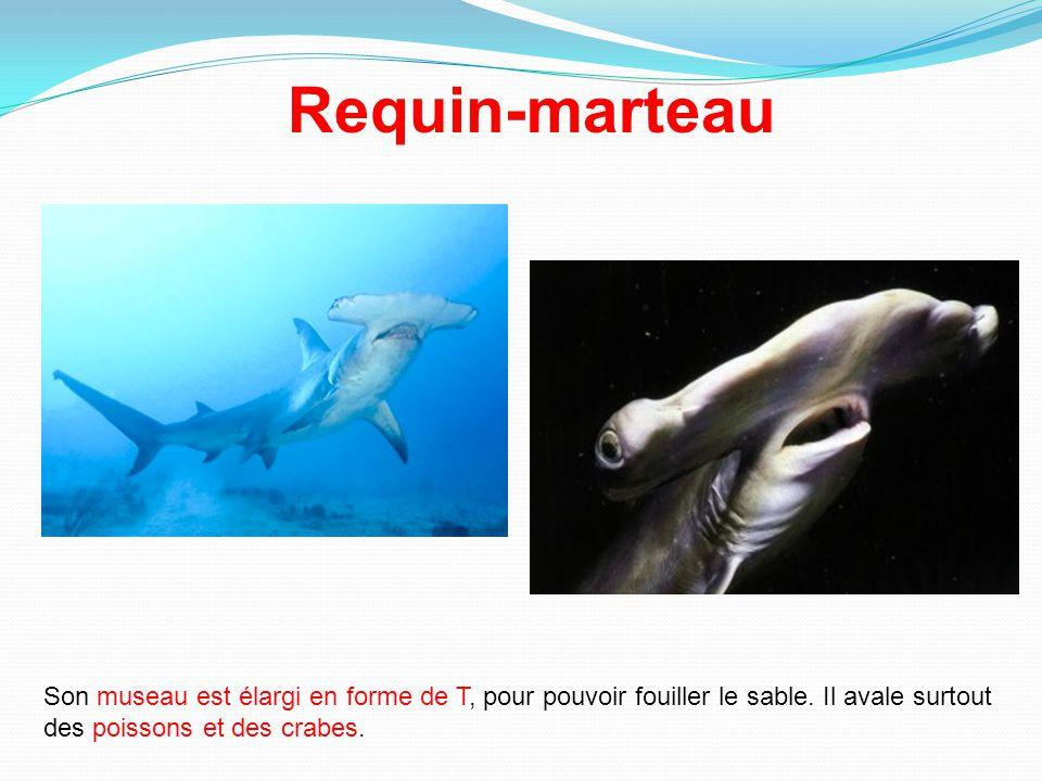 Un pays d oceanie veut proteger les requins ppt t l charger for Comment dessiner un requin marteau