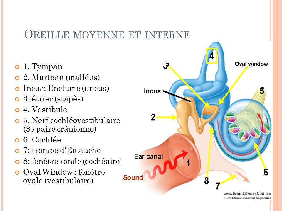 Examen otologique dr menoun service o r l chuc ppt for Fenetre ronde oreille