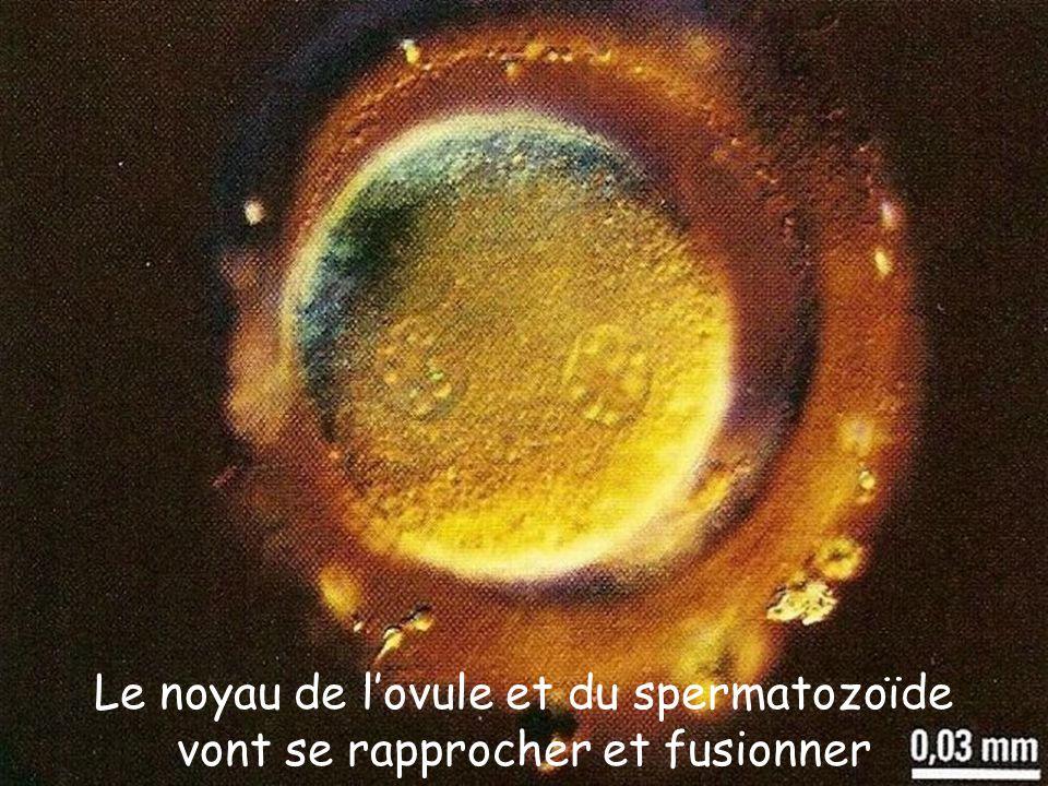 Rencontre spermatozoide avec ovule