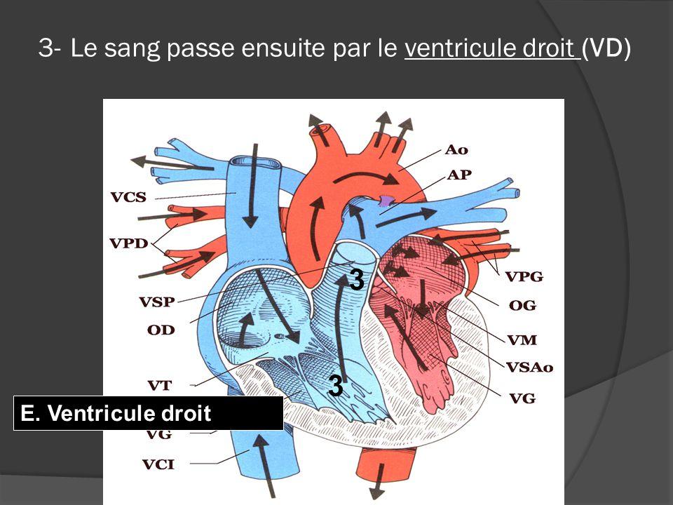 3- Le sang passe ensuite par le ventricule droit (VD)