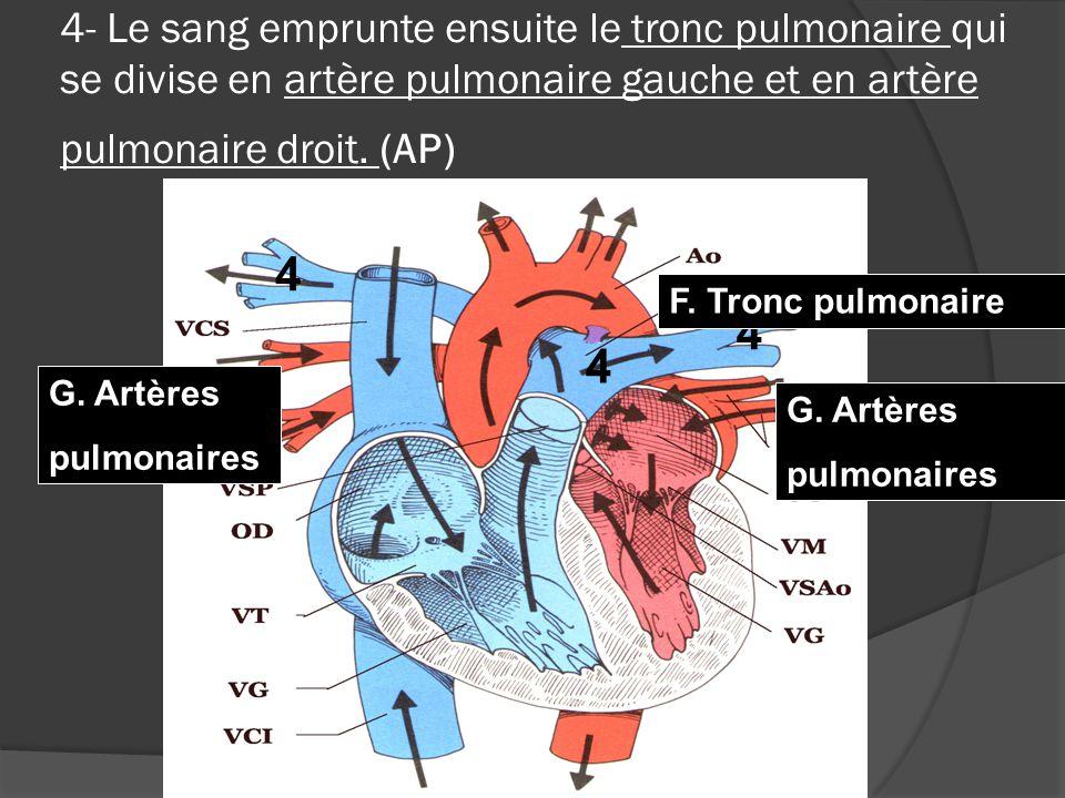 4- Le sang emprunte ensuite le tronc pulmonaire qui se divise en artère pulmonaire gauche et en artère pulmonaire droit. (AP)