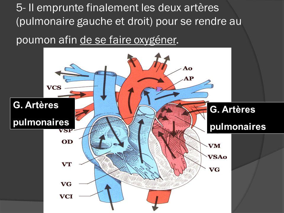 5- Il emprunte finalement les deux artères (pulmonaire gauche et droit) pour se rendre au poumon afin de se faire oxygéner.