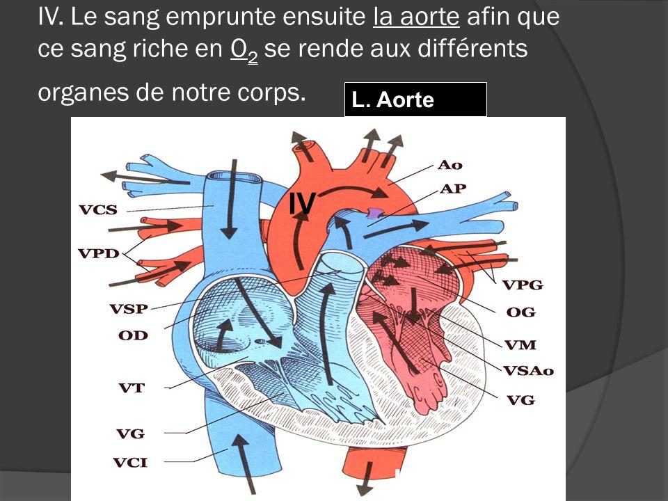 IV. Le sang emprunte ensuite la aorte afin que ce sang riche en O2 se rende aux différents organes de notre corps.