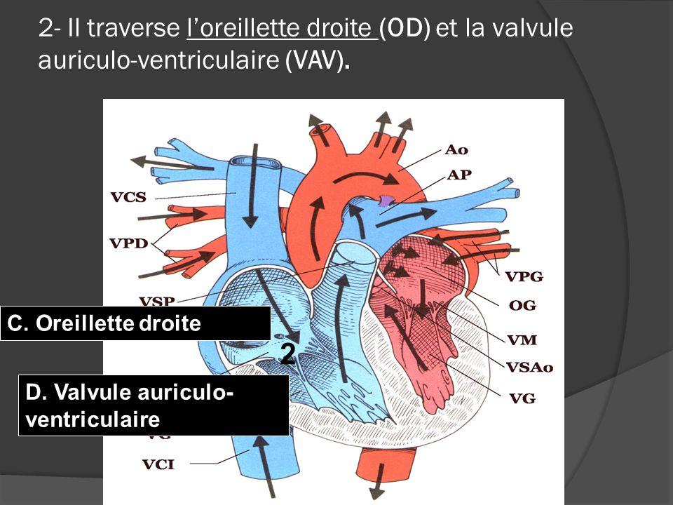 2- Il traverse l'oreillette droite (OD) et la valvule auriculo-ventriculaire (VAV).