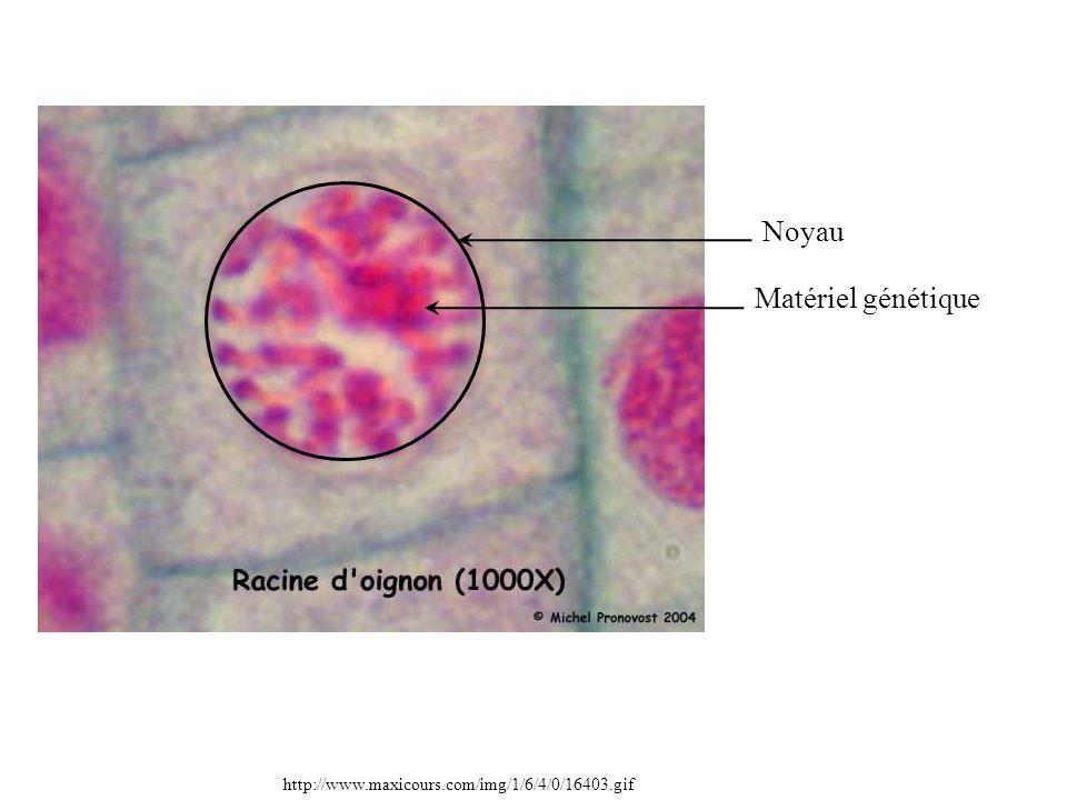Noyau Matériel génétique