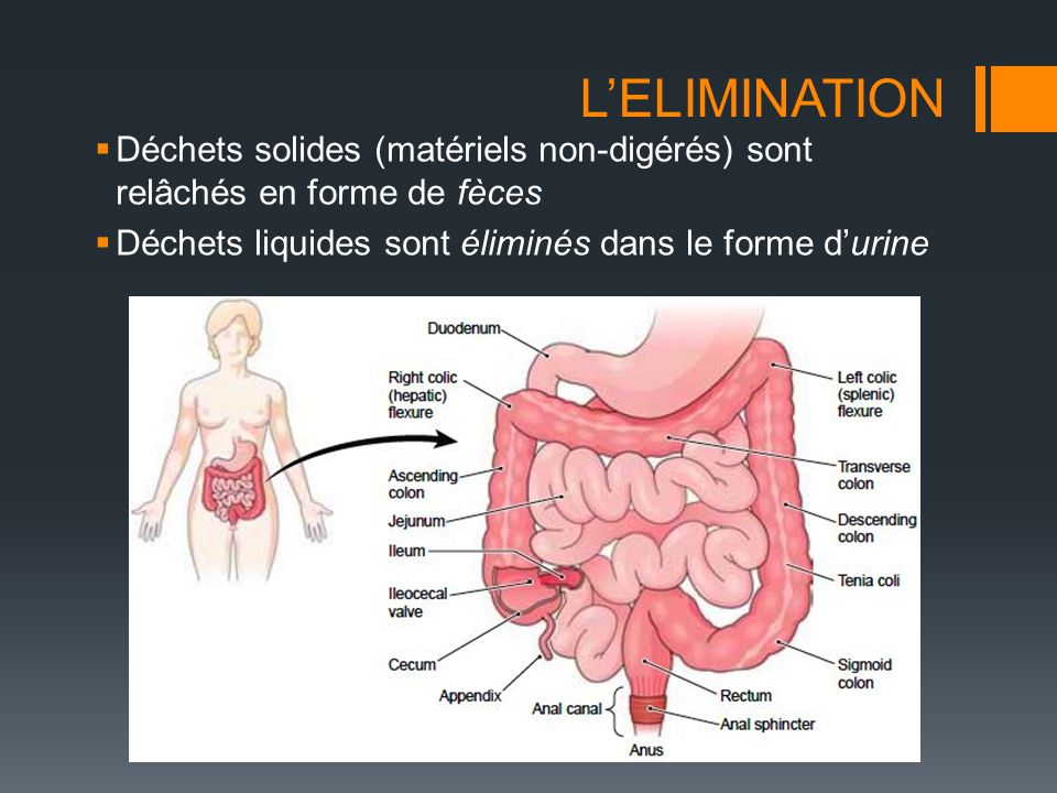 L'ELIMINATION Déchets solides (matériels non-digérés) sont relâchés en forme de fèces.