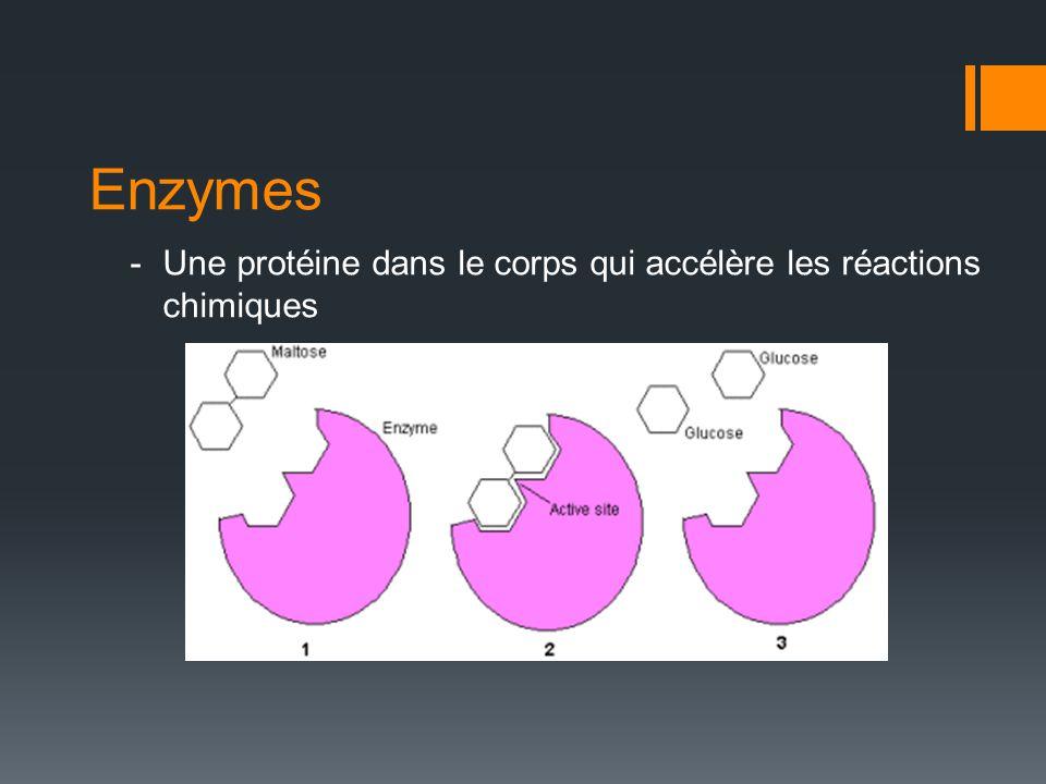 Enzymes Une protéine dans le corps qui accélère les réactions chimiques