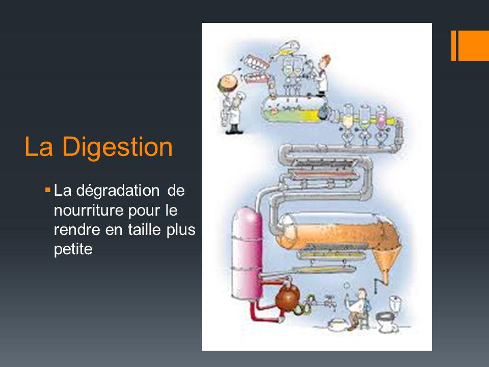 La Digestion La dégradation de nourriture pour le rendre en taille plus petite