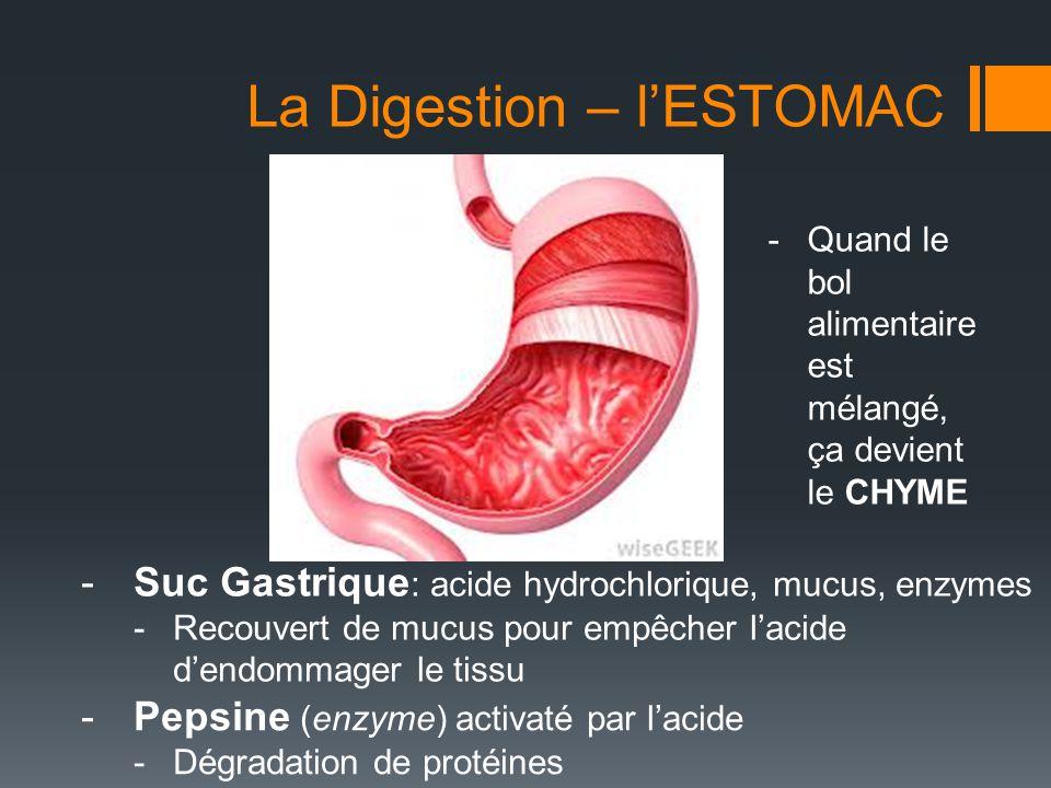 La Digestion – l'ESTOMAC