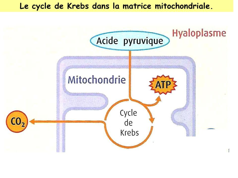 Le cycle de Krebs dans la matrice mitochondriale.