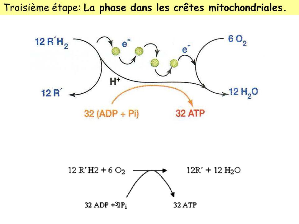 Troisième étape: La phase dans les crêtes mitochondriales.