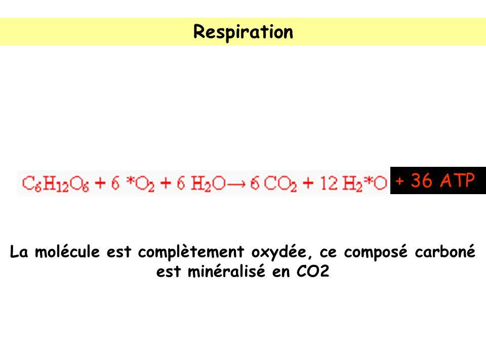 Respiration + 36 ATP La molécule est complètement oxydée, ce composé carboné est minéralisé en CO2