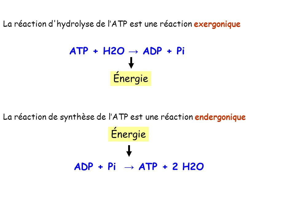ATP + H2O → ADP + Pi Énergie Énergie ADP + Pi → ATP + 2 H2O