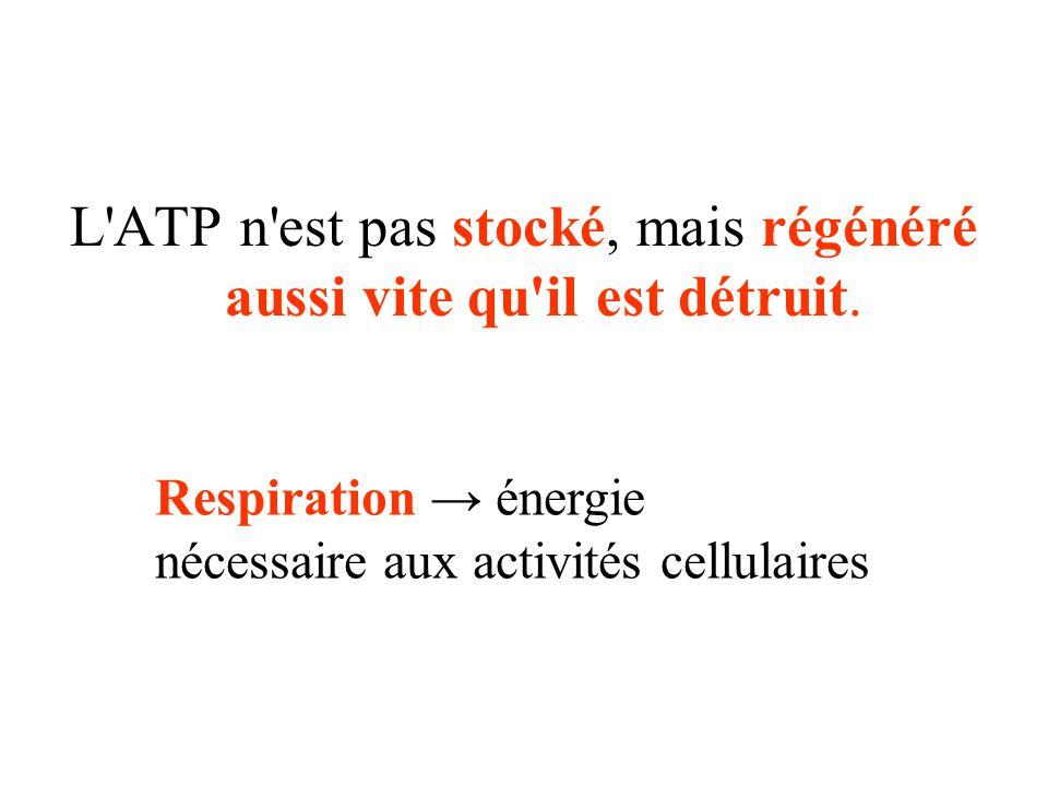 L ATP n est pas stocké, mais régénéré aussi vite qu il est détruit.