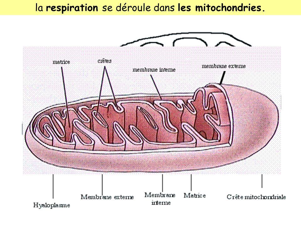 la respiration se déroule dans les mitochondries.