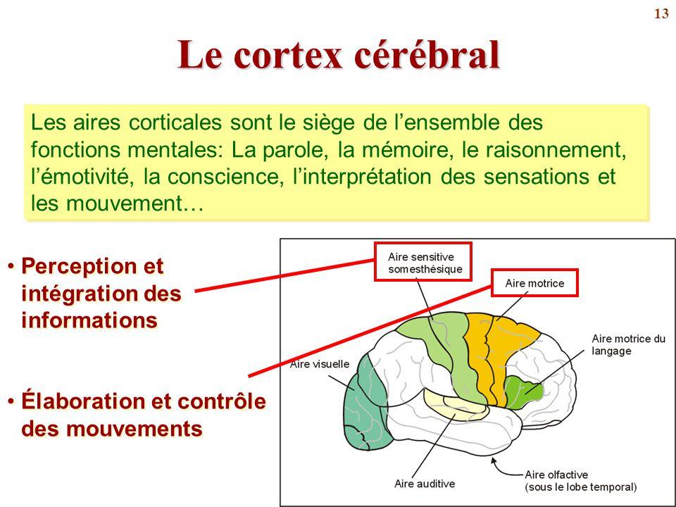 Le cortex cérébral