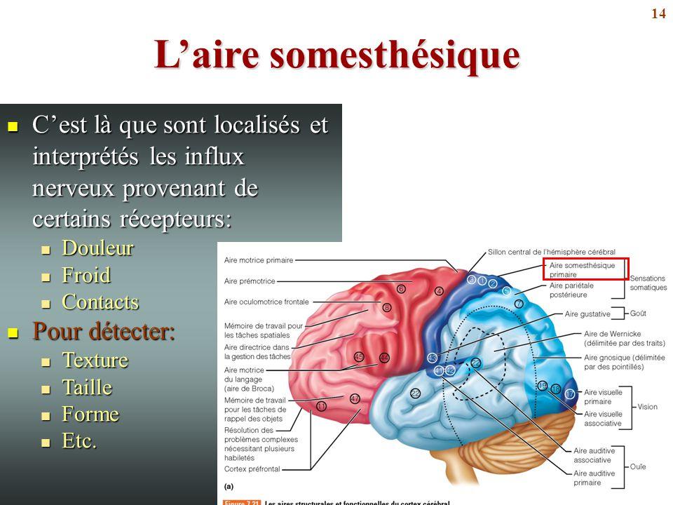 L'aire somesthésique C'est là que sont localisés et interprétés les influx nerveux provenant de certains récepteurs: