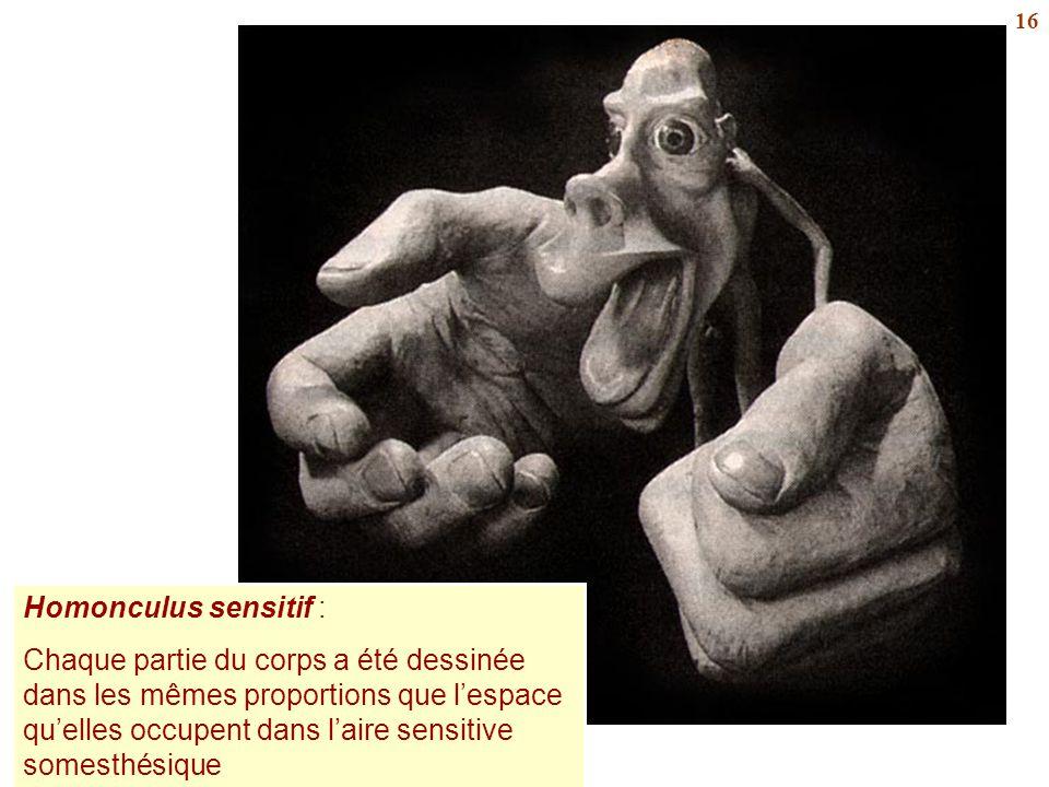 Homonculus sensitif :