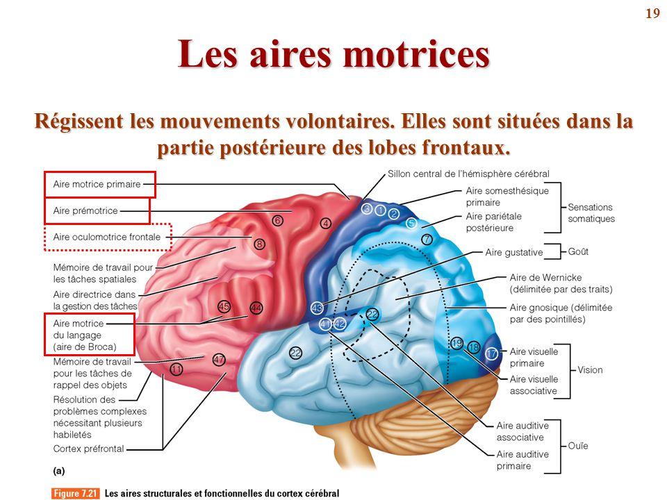 Les aires motrices Régissent les mouvements volontaires.