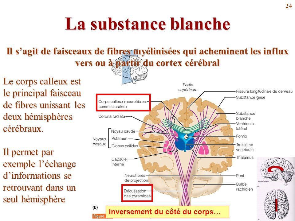 La substance blanche Il s'agit de faisceaux de fibres myélinisées qui acheminent les influx vers ou à partir du cortex cérébral.