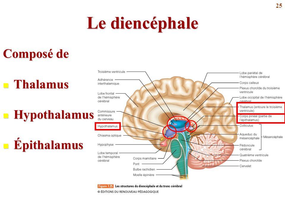 Le diencéphale Composé de Thalamus Hypothalamus Épithalamus