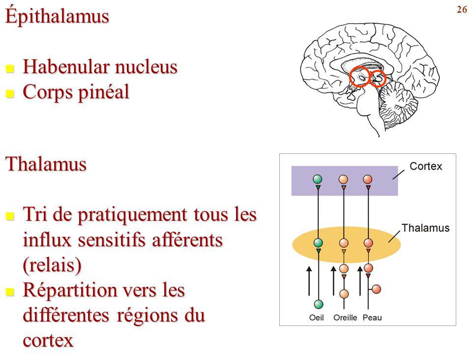 Épithalamus Habenular nucleus. Corps pinéal. Thalamus. Tri de pratiquement tous les influx sensitifs afférents (relais)