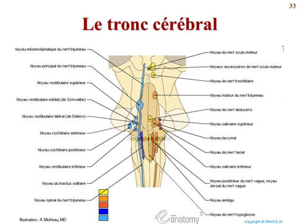 Le tronc cérébral