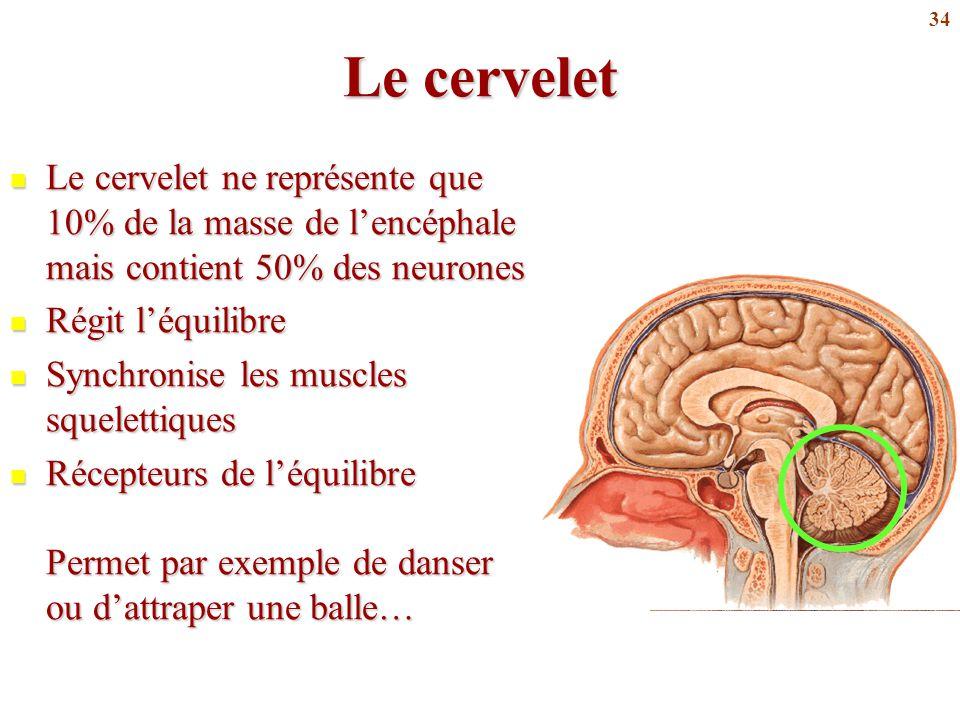 Le cervelet Le cervelet ne représente que 10% de la masse de l'encéphale mais contient 50% des neurones.