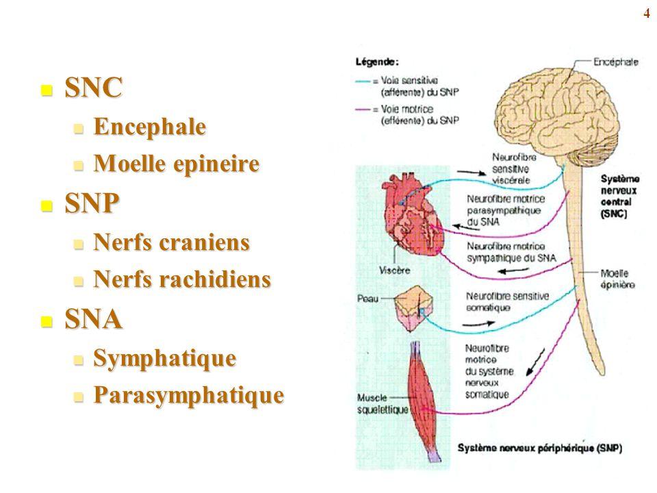 SNC SNP SNA Encephale Moelle epineire Nerfs craniens Nerfs rachidiens