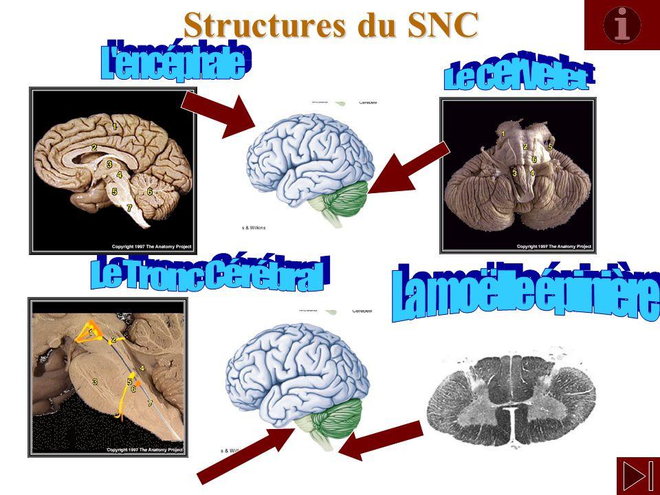 Structures du SNC L encéphale Le cervelet Le Tronc Cérébral