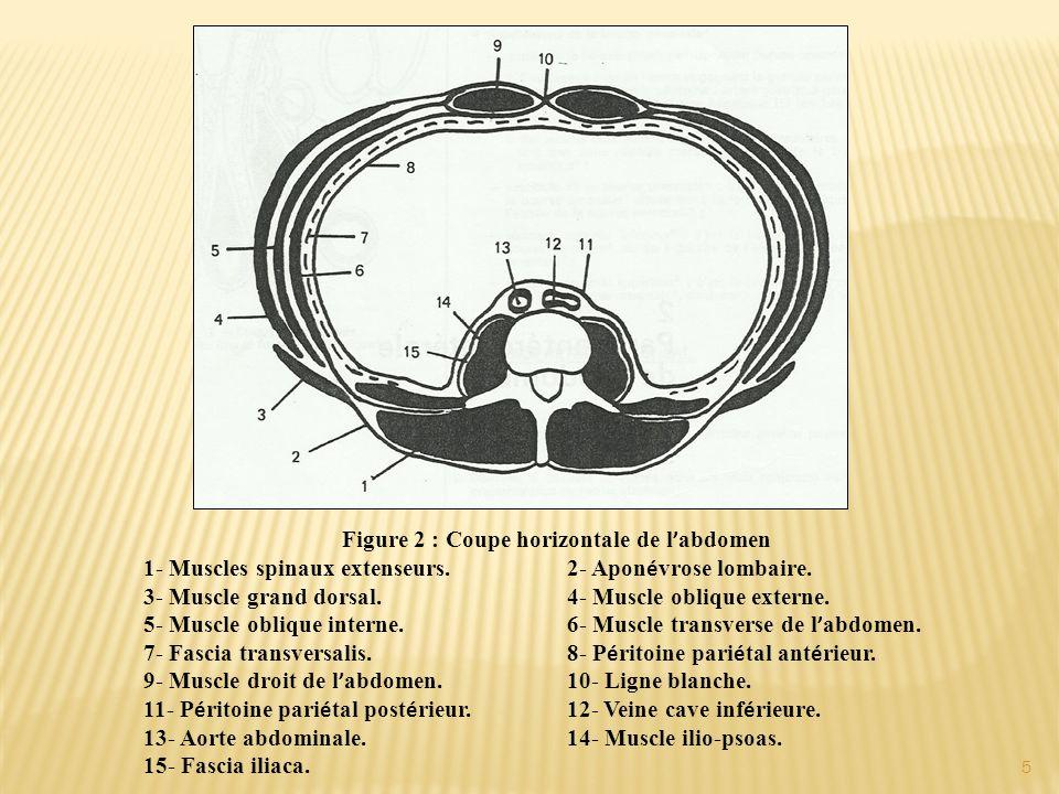 Figure 2 : Coupe horizontale de l'abdomen