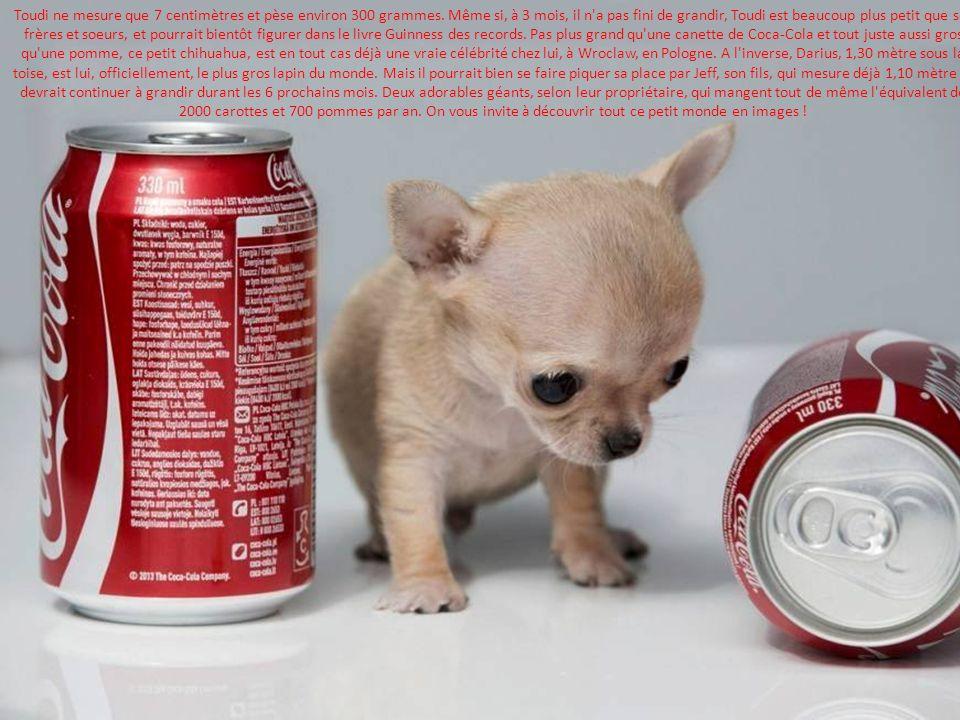 Voici toudi le plus petit chien du monde et darius le plus gros lapin du monde plus petit qu - Jeux qui ne prennent pas beaucoup de place ...