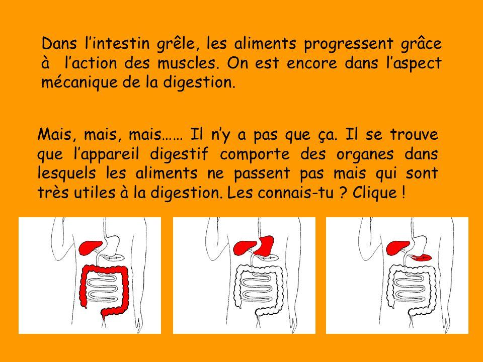 Dans l'intestin grêle, les aliments progressent grâce à l'action des muscles. On est encore dans l'aspect mécanique de la digestion.