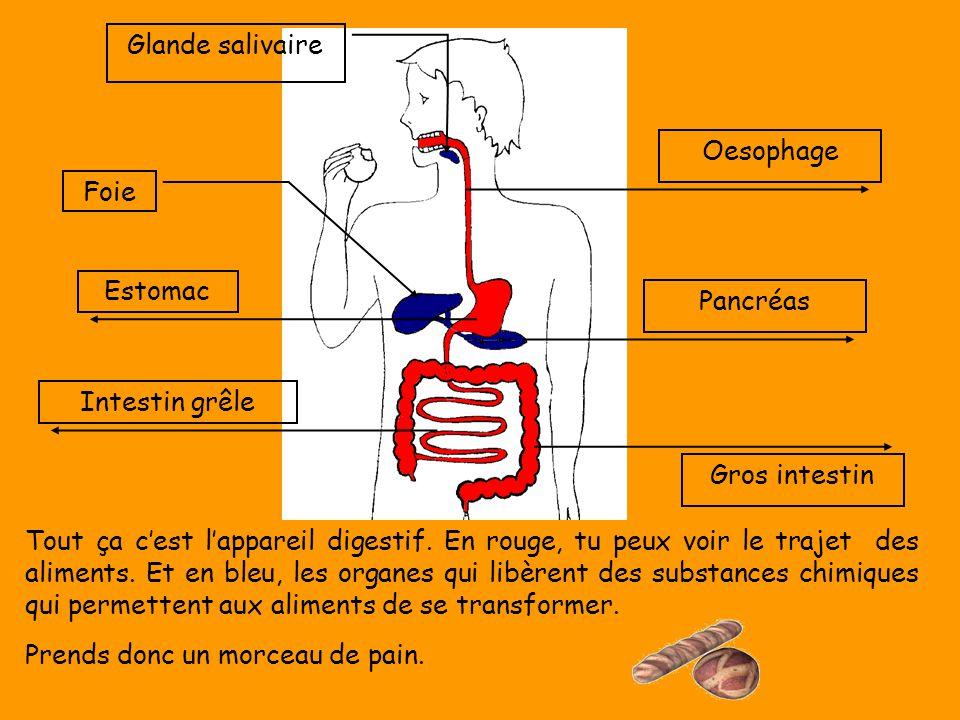 Gros intestin Oesophage. Pancréas. Glande salivaire. Foie. Estomac. Intestin grêle.