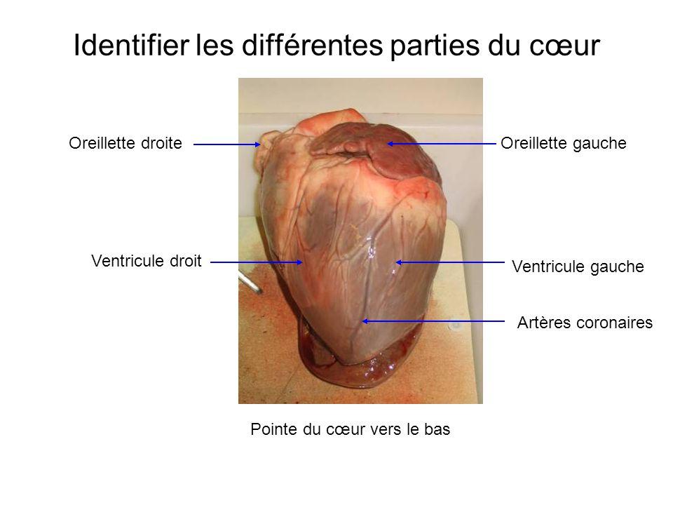 Identifier les différentes parties du cœur