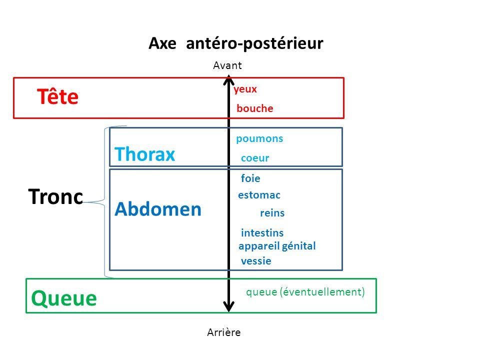 Axe antéro-postérieur